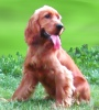 English Cocker Spaniel: Site dedicated to my dog Cookie (a cocker spaniel brown), the English cocker spaniel, and to all lovers of dogs (both puppies and adults). 'English Cocker Spaniel: Cookie' is a fan site on the breed of these dogs and not a breeding kennels.