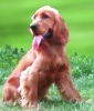 English Cocker Spaniel: website dedicated to this breed of dogs